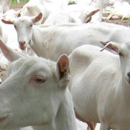 Focus on Small Ruminant Mastitis